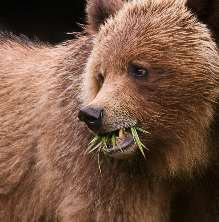 Grizzly Grazing on Sedges